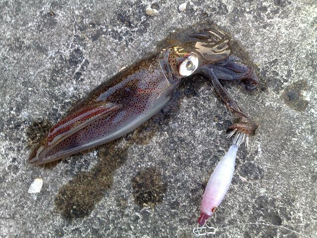近所の海で釣ったヒイカ